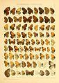 Macrolepidoptera01seitz 0103.jpg