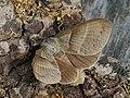 Macrothylacia rubi ♀ - Fox moth (female) - Коконопряд малинный (самка) (39195121790).jpg
