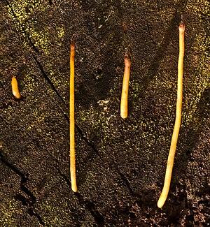 Macrotyphula fistulosa 13954 crop