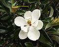 Magnolia grandiflora - flower 1.jpg