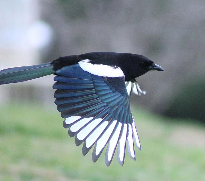 File:Magpie in Madrid (Spain) 77.jpg