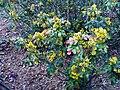 Mahonia aquifolium DehesaBoyal2.jpg