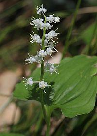 Maianthemum dilatatum (flowers).JPG