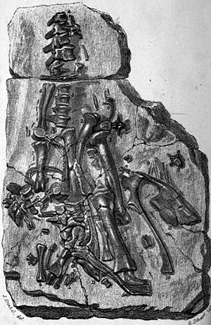 Iguanodon - Fossil iguanodont remains found in Maidstone in 1834, now classified as Mantellodon