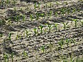 Maize seedlings in Arbigny (close-up).jpg