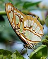 Malachite butterfly web.jpg