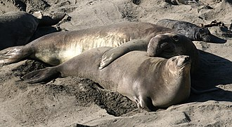 Elephant seal - Image: Male, female and pup Mirounga angustirostris 10