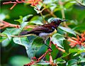 Male Purple-rumped sunbird in sri lanka.jpg