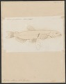 Mallotus villosus - 1700-1880 - Print - Iconographia Zoologica - Special Collections University of Amsterdam - UBA01 IZ14800065.tif