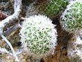 Mammillaria sphacelata (5758895305).jpg