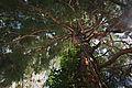 Mammutbaum5.jpg