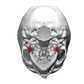 Mandibular angle - inferior view.png