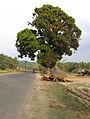 Mango tree near Valliyoorkkavu temple wayanad.jpg
