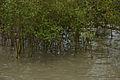 Mangrove - Godkhali - South 24 Parganas 2016-07-10 4951.JPG