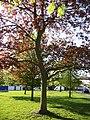 Maples in Spring, London N14 - geograph.org.uk - 1262860.jpg