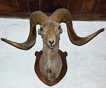 The head of a sheep with long, curved horns is mounted on a wooden plaque hung on a wall as a hunting trophy