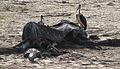 Maribou storks having a go at the old elephant carcass, along with the crocodiles (12223268994).jpg