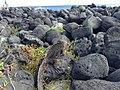 Marine iguana in Las Loberias, Galapagos Islands.jpg