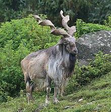 Markhor - Wikipedia