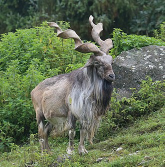 Markhor - Male markhor in captivity at the Augsburg Zoo