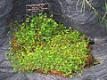 Marsilea villosa (Washington DC).jpg