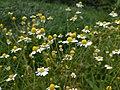 Matricaria chamomilla Beroun.jpg