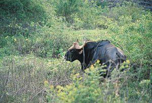 Bhadra Wildlife Sanctuary - Image: Mature Gaur (bison) at Bhadra wildlife sanctuary
