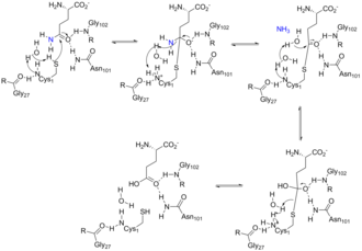 Amidophosphoribosyltransferase - First half of the catalytic mechanism of ATase occurring in the glutaminase domain active site. The catalytic cysteine performs a nucleophilic attack on the substrate to form an acyl-enzyme intermediate, which is resolved by hydrolysis. Ammonia is produced in the third step, which is used in the second half of the mechanism.