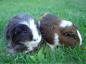Hausmeerschweinchen (Cavia porcellus)
