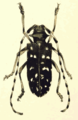 Melanauster chinensis from Shiraki 1910 plate19.png