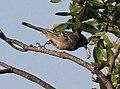 Melaniparus pallidiventris subsp stenotopicus, Mutare, Birding Weto, b (cropped).jpg