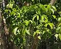 Melicope elleryana foliage.jpg