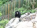 Melursus ursinus at National Zoo.JPG