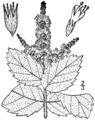 Mentha × villosa drawing 1.png