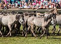 Merfeld, Wildpferdefang -- 2014 -- 1087.jpg