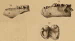 Microsyops teeth.png