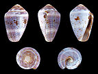 Miliariconus coronatus 01.JPG