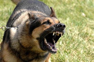 Dog communication - Image: Military dog barking