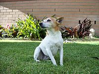 Miniature Fox Terrier.jpg