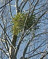 Mistletoe in White Poplar 2.jpg