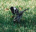 Mockingbird Chick012.jpg