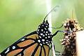 Monarch (Danaus plexippus) (14611477268).jpg