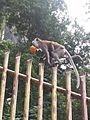 Monkey holding a fruit in its mouth as it perches atop a fence (2014-01-04).jpg