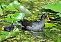 Moorhen and chick.jpg