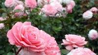 File:Most beautiful flower gardens in Canada, Butchart Gardens - Garden landscaping design idea.webm