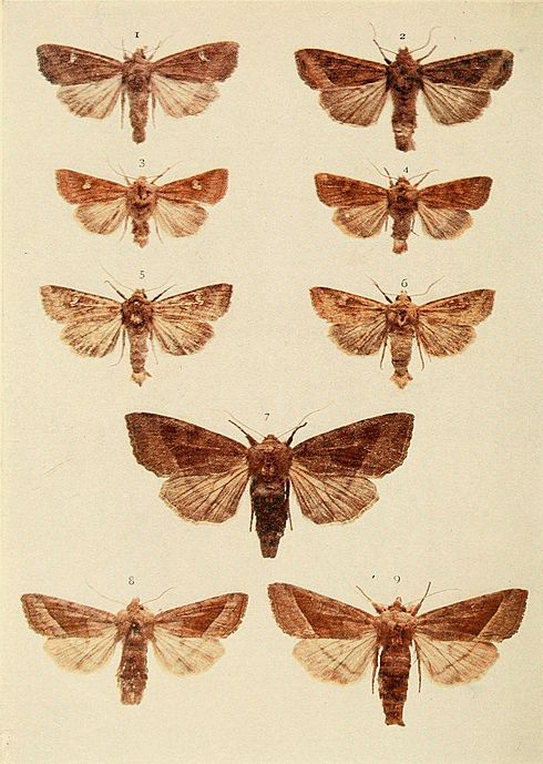 Moths of the British Isles Plate143.jpg