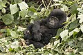 Mountain gorilla, 2-year-old, Mubare Group, Buhoma, Bwindi Impenetrable Forest, Uganda.jpg