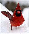 Mr Cardinal (5411043595).jpg