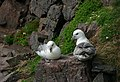 Mr and Mrs Fulmar - geograph.org.uk - 438729.jpg