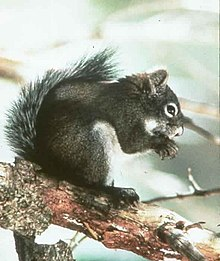 Mt. Graham Red Squirrel.jpg